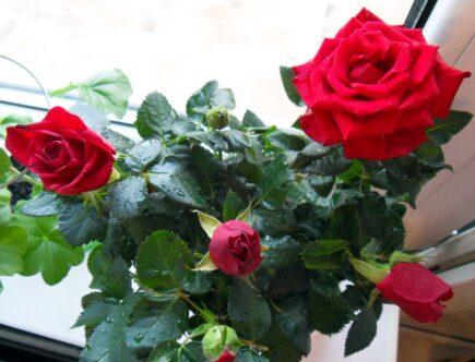 История роз и комнатные розы