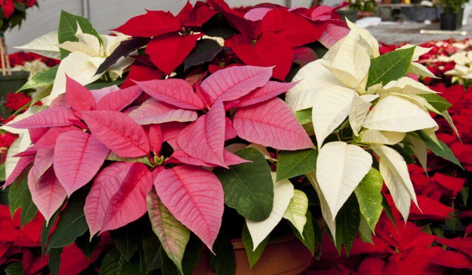 Как ухаживать за цветком Рождественская звезда