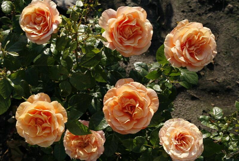 Роза бенгальская комнатная